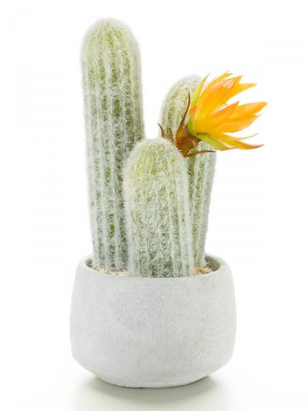 Silberkerzen-Kaktus