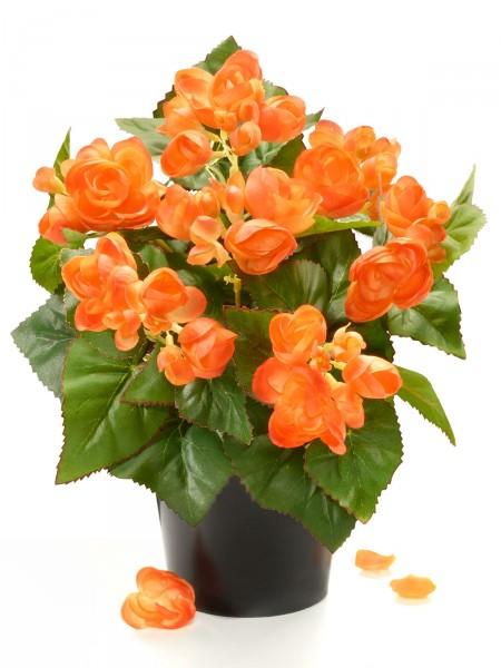 Orange Begonie