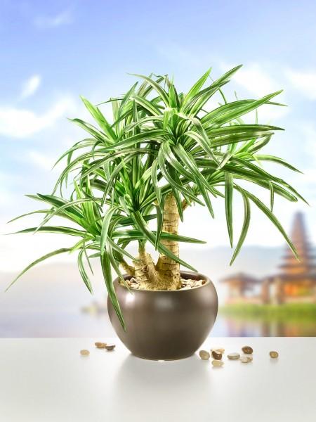 "Bonsai ""Yucca"""