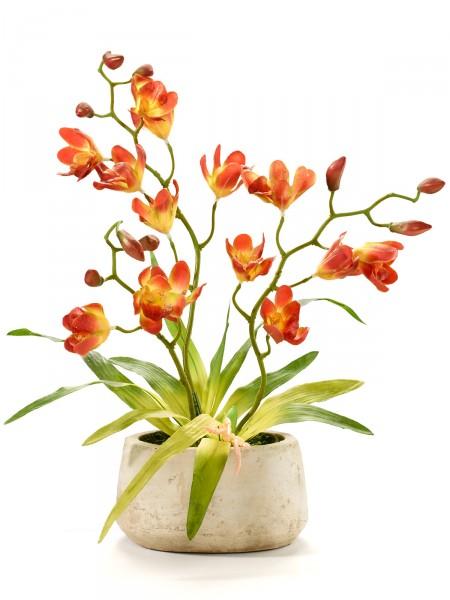 "Orchidee ""Mariola"""